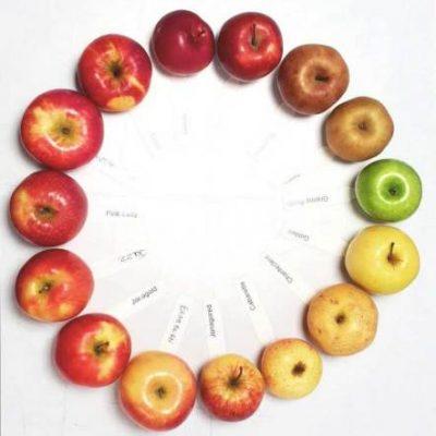 Les différentes variétés de pommes.