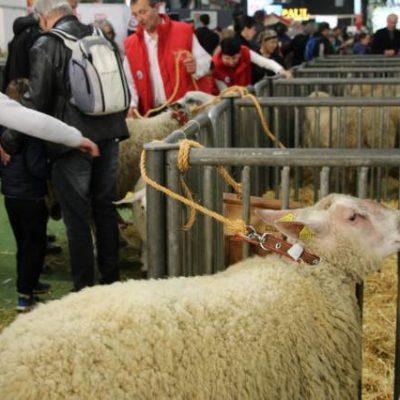 Concours de moutons
