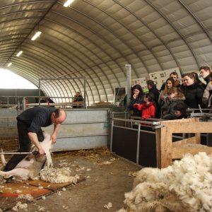 Tonte de moutons à la bergerie